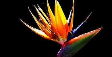 flores ave del paraiso significado