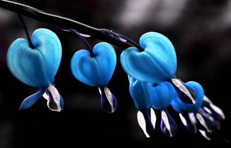 significado de la flor corazon sangrante