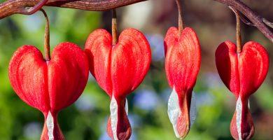 flor de corazon sangrante