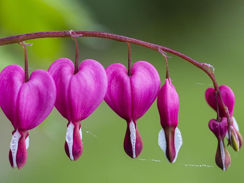 caracteristicas de la flor corazon sangrante