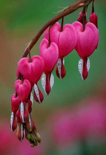 flores de california corazon sangrante