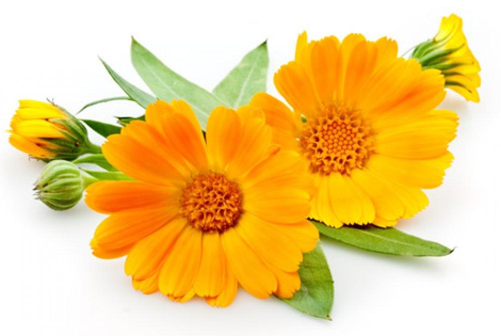 calendula flores chá