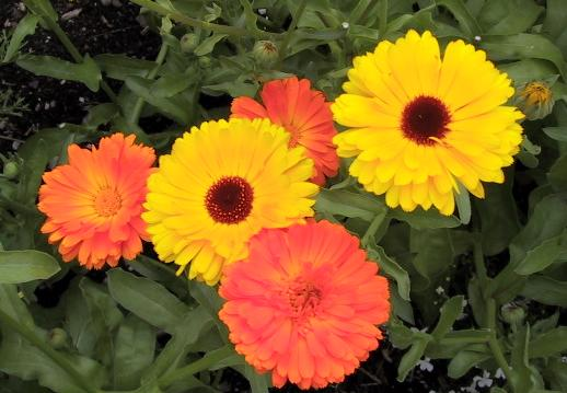 flores amarillas calendula