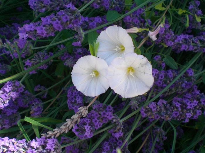 plantas con flores de campanillas