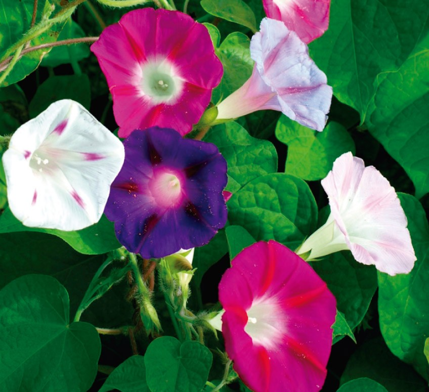 imagenes de flores de campanillas