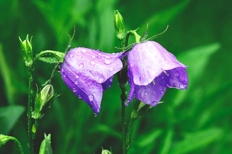 flores de campanillas