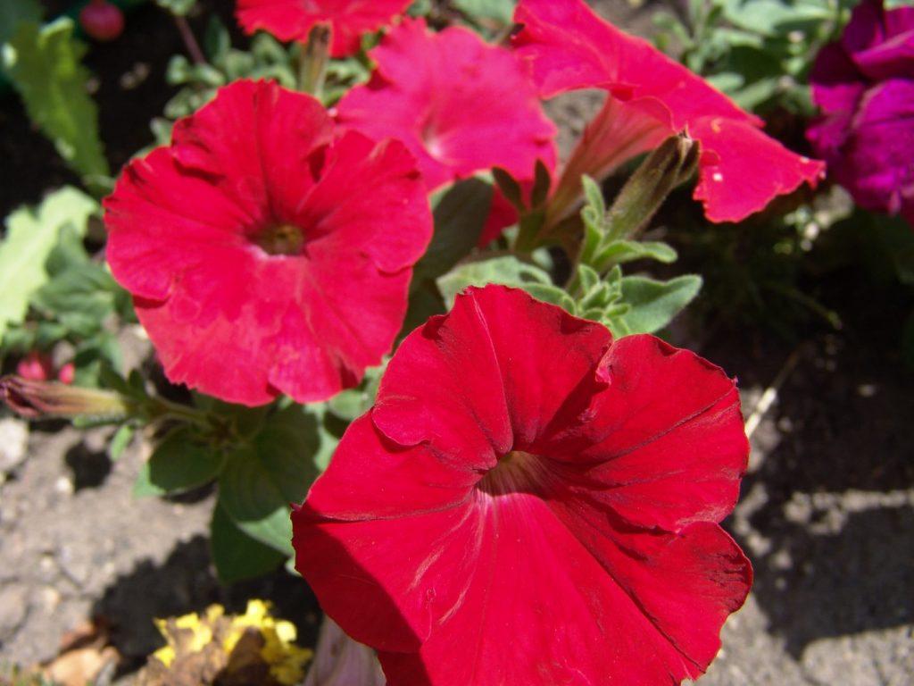 campanillas flores cuidados