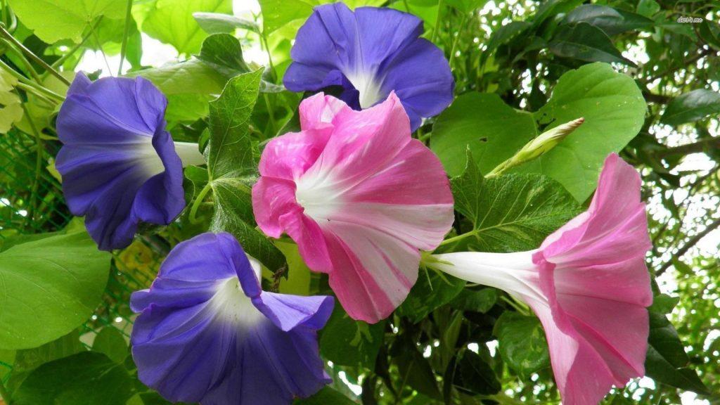 flores de campanillas azules