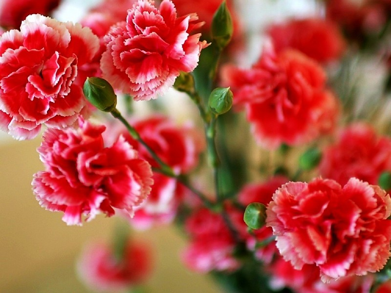 flores clavel del poeta