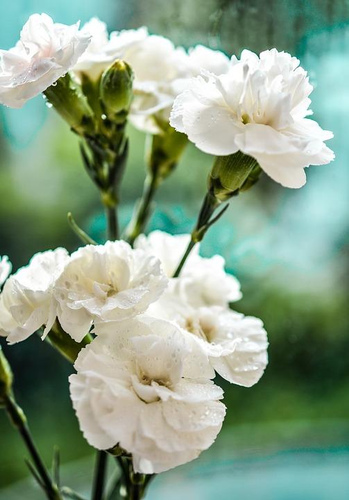 flor clavel blanco