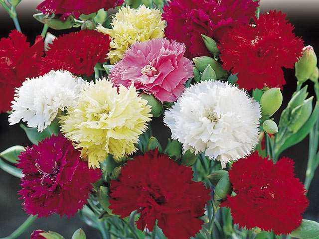 flores clavel silvestre