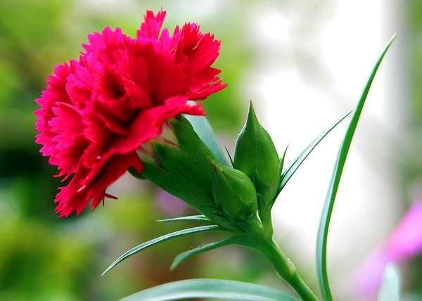 flores clavel informacion