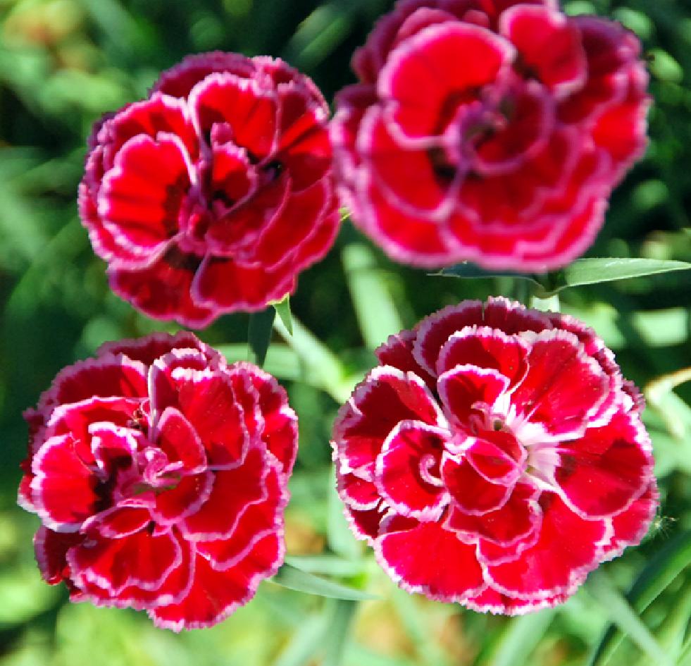 flores clavel del aire