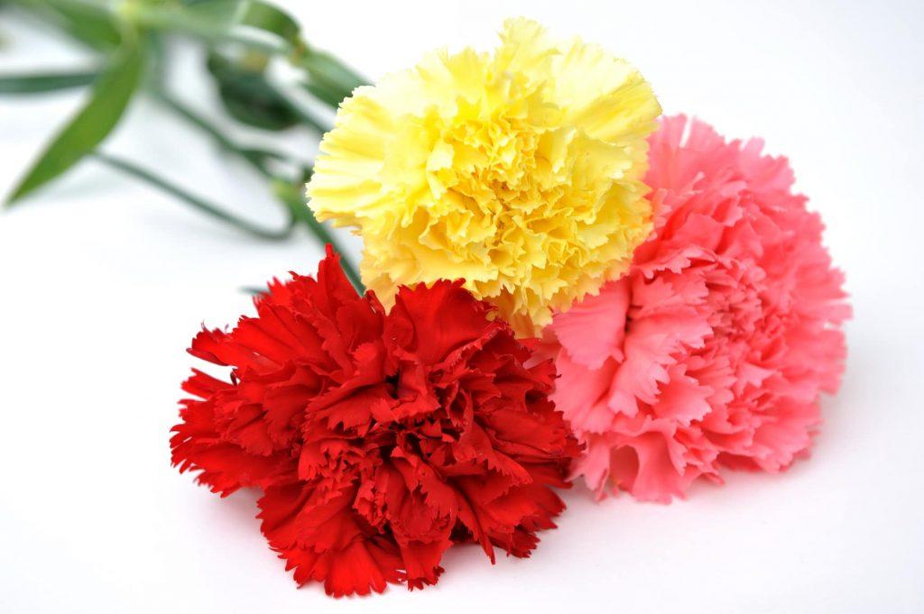 flor clavel amarillo