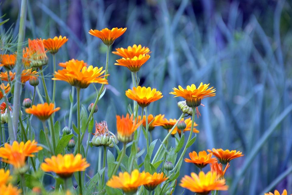 flores de calendula contraindicaciones