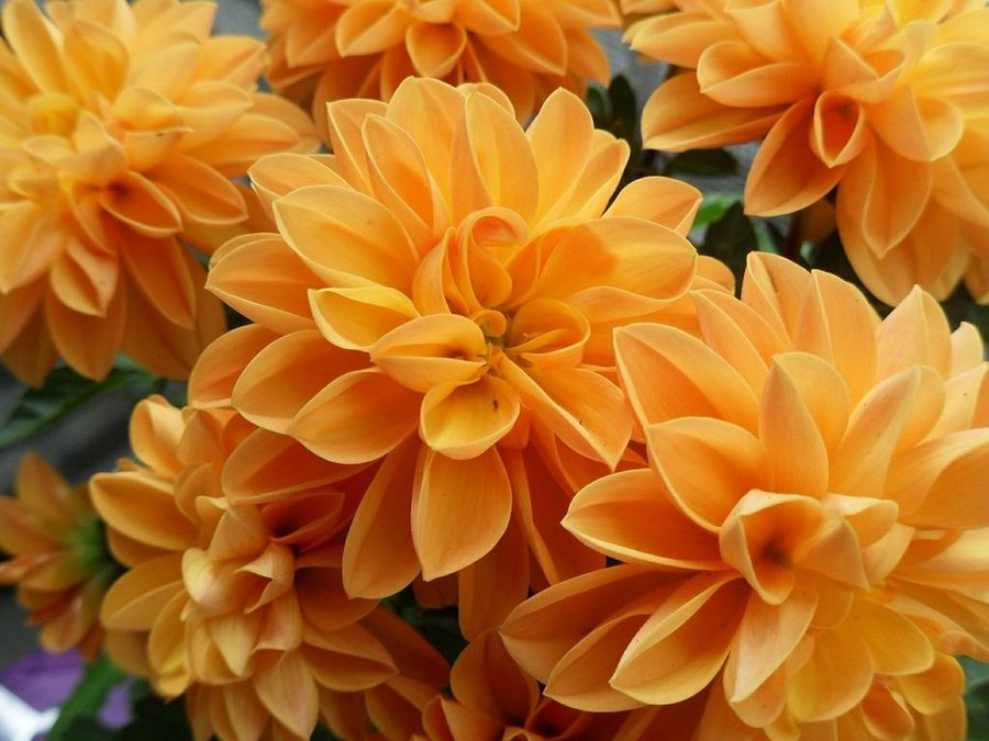 flores similares al crisantemo