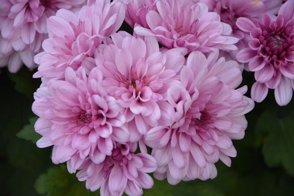 flores como crisantemos