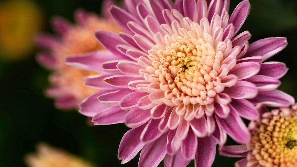 flores parecidas al crisantemo