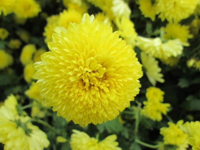 flores de crisantemo propiedades