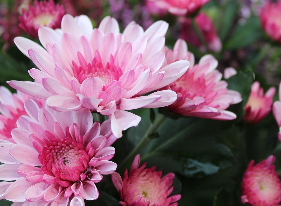 crisantemos flores cultivo