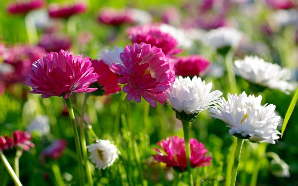 flores comestibles crisantemo