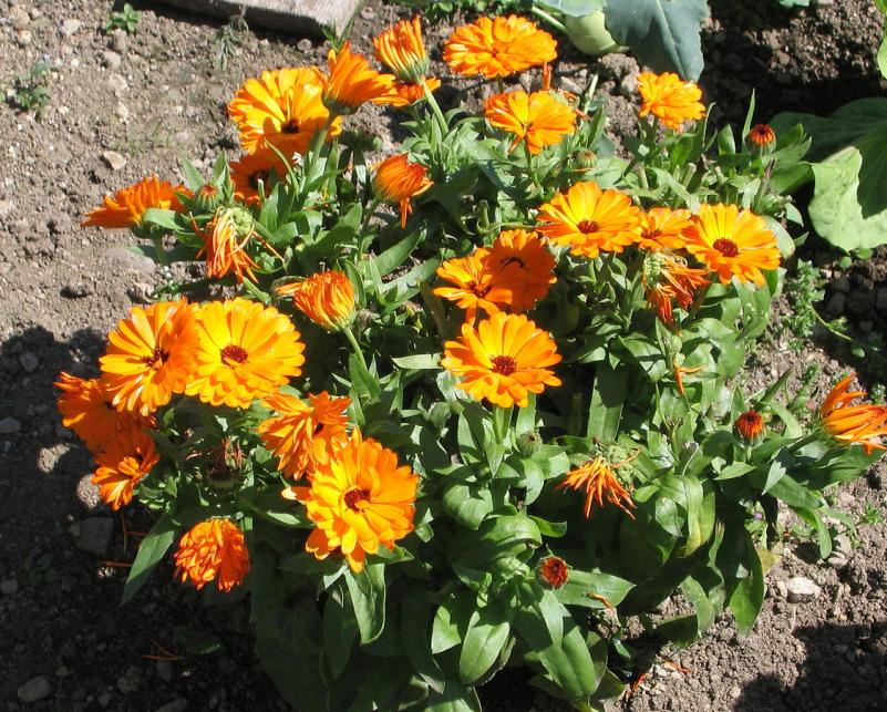 calendula flores secas