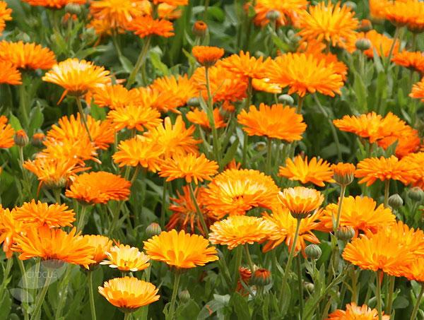 calendula flores barreiro de cima