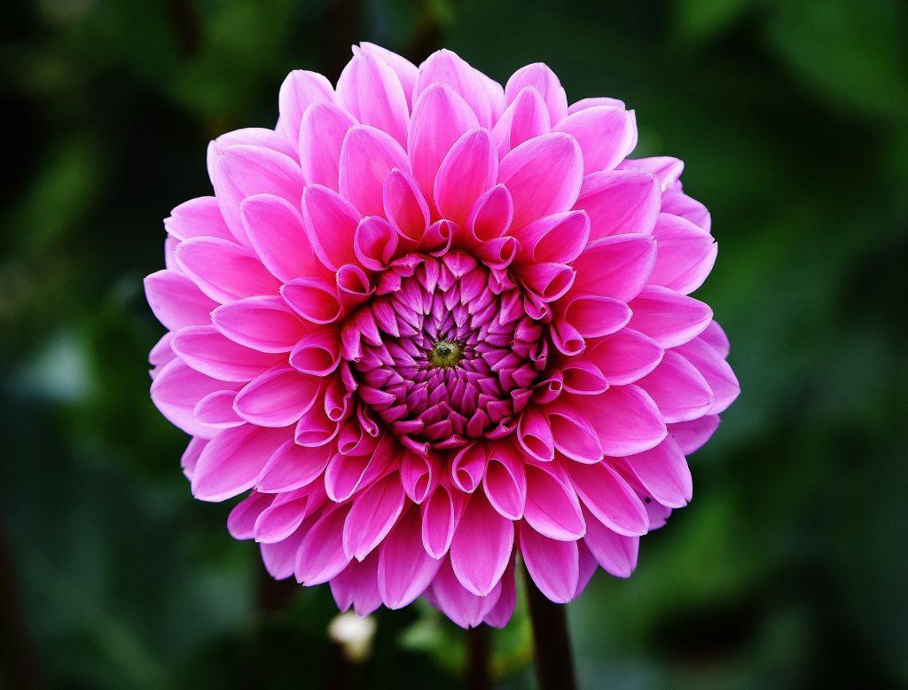 la flor dalia es de sol o sombra