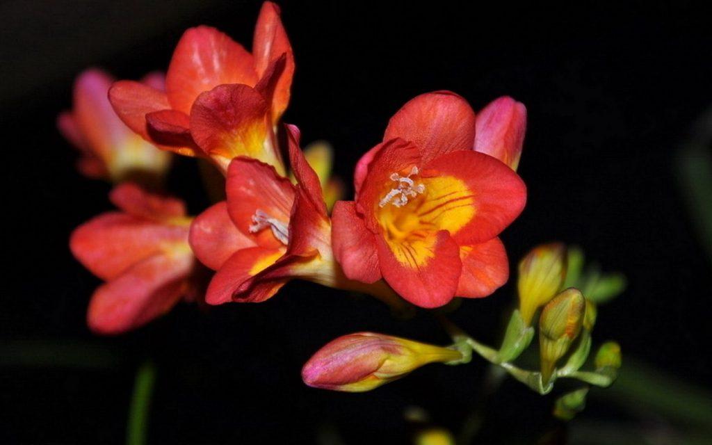 a flor fresia