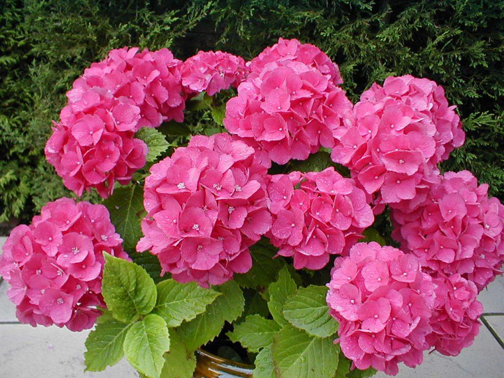 flor hortensia es de mala suerte