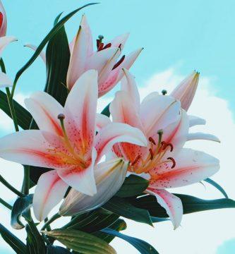 flor lirio africano