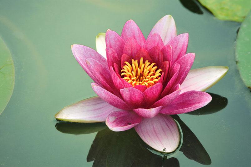flor de loto png