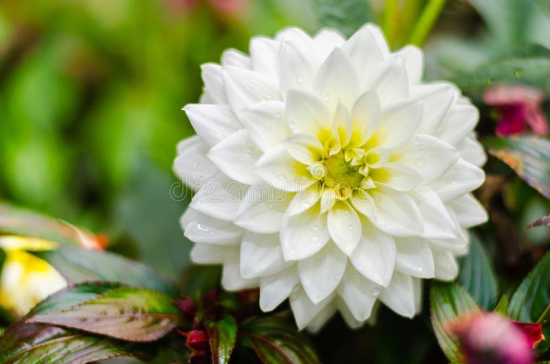 la flor dalia en ingles