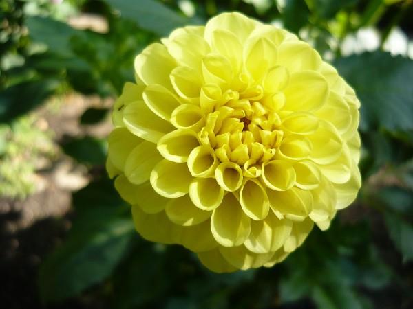 flor dalia amarilla