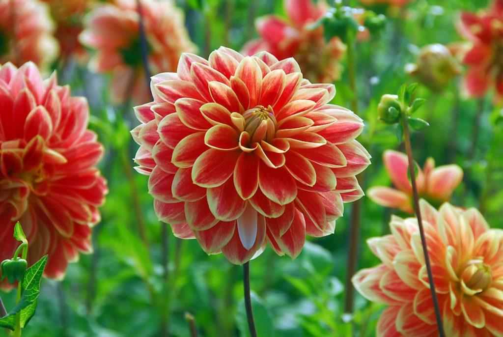 flor dalia asiatica