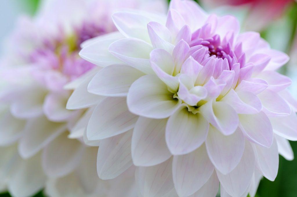 flor de dalia acordes
