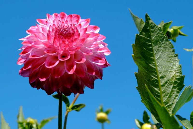 flor de dalia adan chalino sanchez