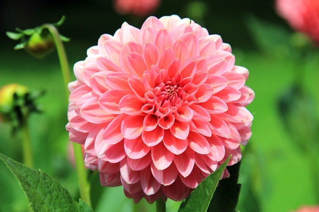 flor dalia a crochet