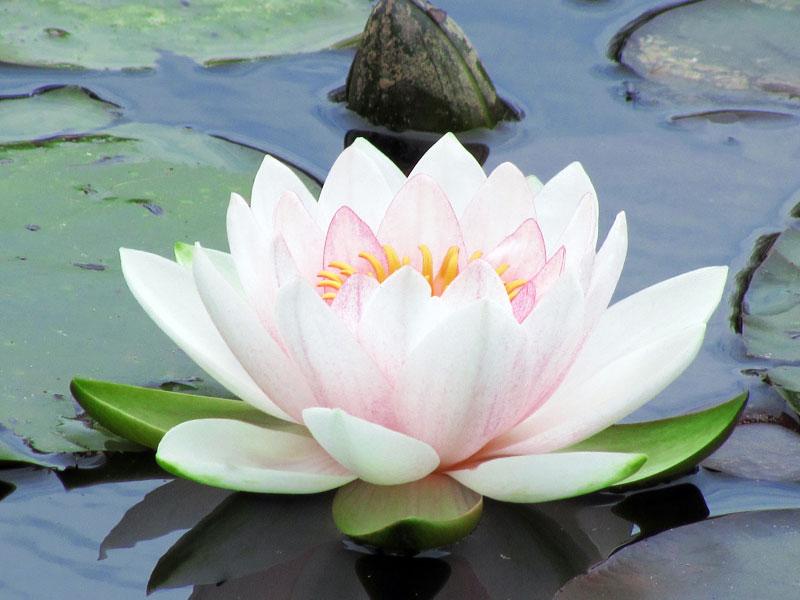flor de loto tatuaje