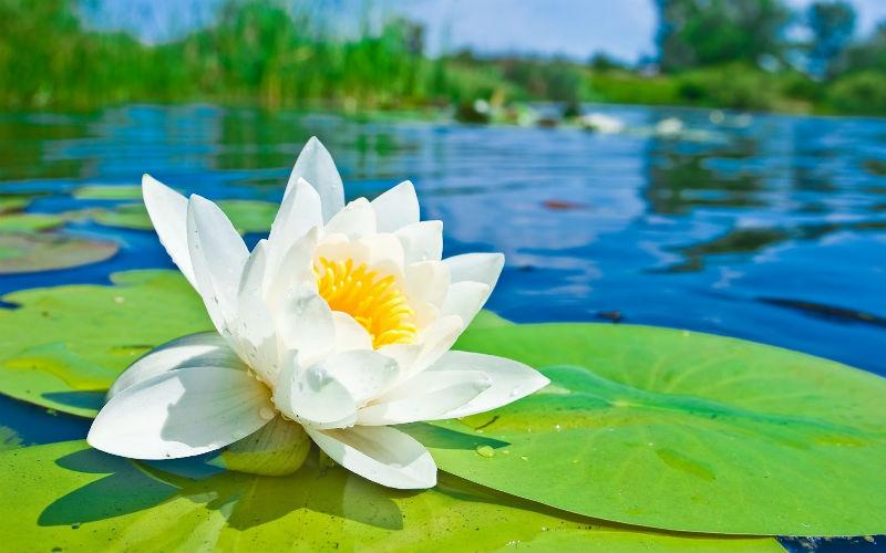 flor de loto a lapiz