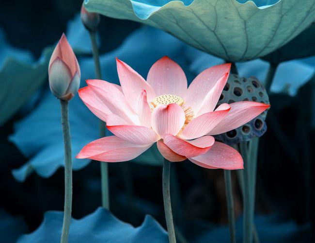 flor de loto azul significado