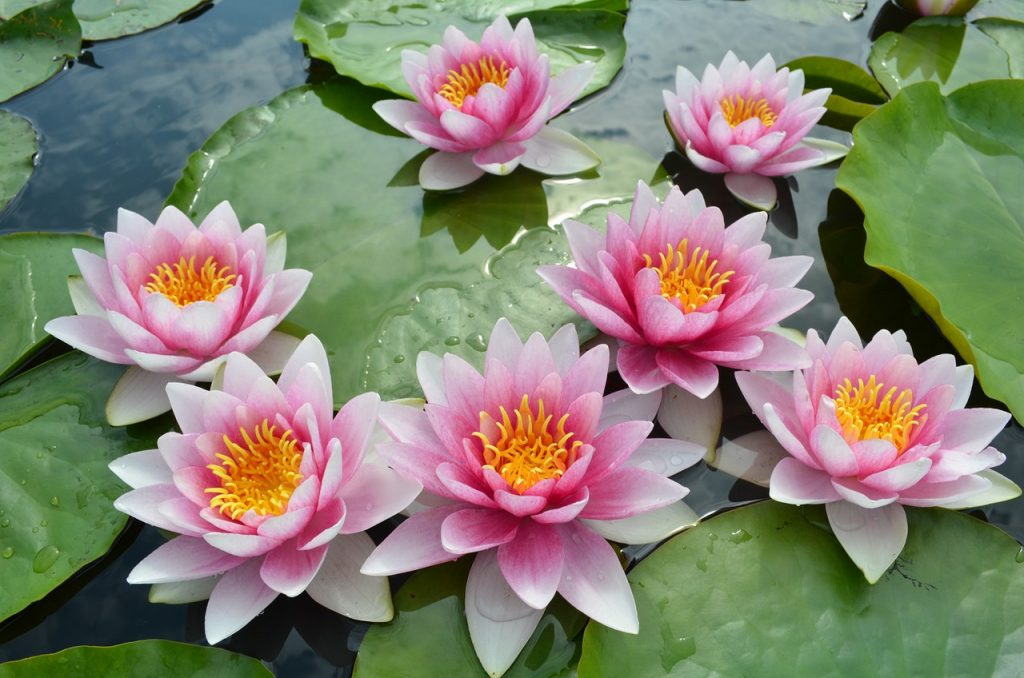 flor de loto a color