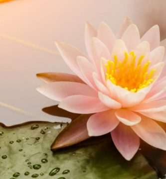 flor de loto acuarela