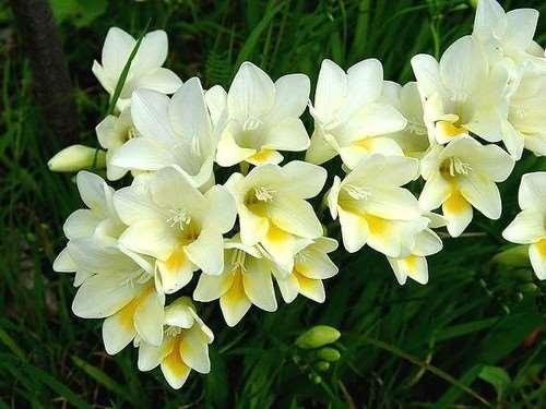 imagenes de flor fresia