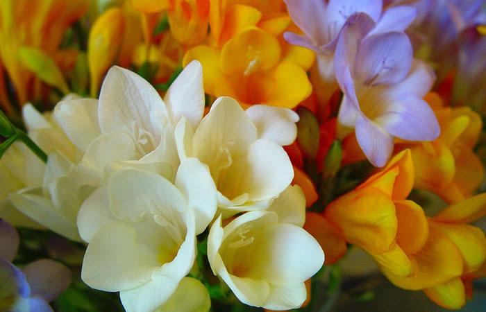 fresia flor de corte