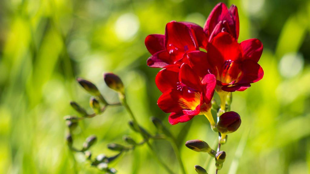 flor de fresia significado