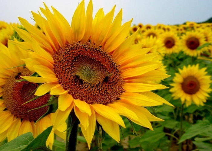 flor parecida al girasol