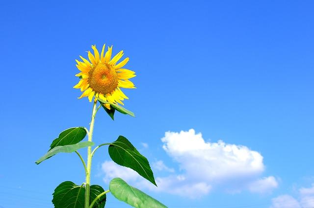 flor amarilla parecida al girasol
