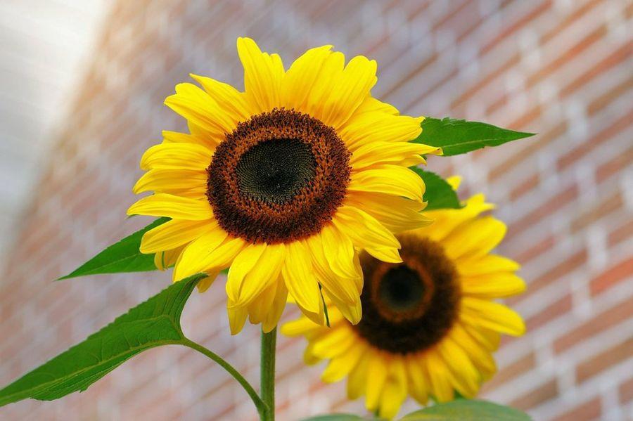 flor parecida al girasol pero de colores
