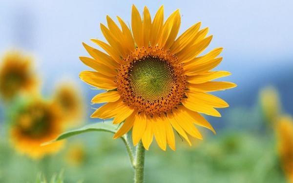 la flor girasol y su significado